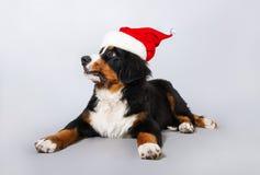 在圣诞老人帽子的一条狗 灰色背景的美丽的小狗Bernese牧羊人 新年度 免版税库存图片