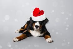 在圣诞老人帽子的一条狗 灰色背景的美丽的小狗Bernese牧羊人 新年度 库存照片