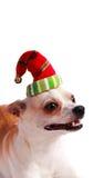 在圣诞老人帽子的小犬座奇瓦瓦狗 免版税库存照片