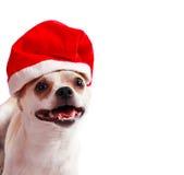 在圣诞老人帽子的小犬座奇瓦瓦狗 图库摄影