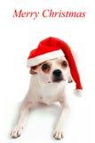 在圣诞老人帽子的小犬座奇瓦瓦狗 库存图片