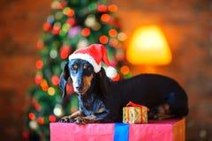 在圣诞老人帽子的小狗 免版税库存图片