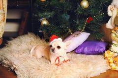 在圣诞老人帽子的幼小米黄奇瓦瓦狗狗 图库摄影
