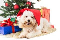 在圣诞老人帽子的微笑的长卷毛狗小狗有Chrismas树和礼物的 图库摄影