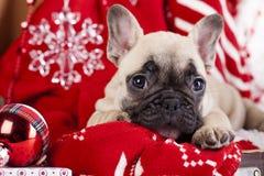 在圣诞老人帽子的法国牛头犬 免版税库存照片