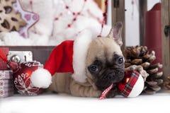 在圣诞老人帽子的法国牛头犬 库存图片