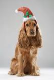 在圣诞老人帽子的狗品种英国西班牙猎狗 免版税库存照片