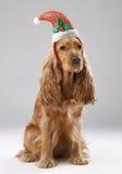 在圣诞老人帽子的狗品种英国西班牙猎狗 库存照片