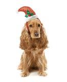 在圣诞老人帽子的狗品种英国西班牙猎狗 免版税库存图片