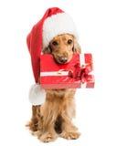 在圣诞老人帽子的狗有礼物嘴的 免版税库存照片