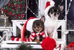 在圣诞老人帽子的狗chihuvehua 库存照片