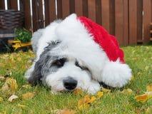 在圣诞老人帽子的甜小狗 库存照片