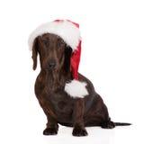 在圣诞老人帽子的达克斯猎犬狗 库存照片
