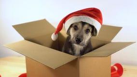 在圣诞老人帽子的逗人喜爱的小狗在有红色丝带的一个纸板箱坐 图库摄影