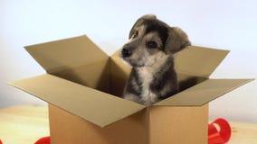 在圣诞老人帽子的逗人喜爱的小狗在有红色丝带的一个纸板箱坐 免版税库存图片