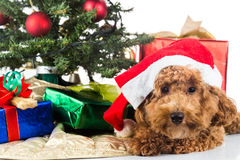 在圣诞老人帽子的逗人喜爱的长卷毛狗小狗有Chrismas树和礼物的 免版税库存照片