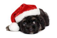 在圣诞老人帽子的逗人喜爱的黑和棕褐色的Havanese小狗 免版税库存图片