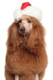 在圣诞老人帽子的长卷毛狗 库存图片