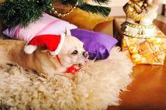 在圣诞老人帽子穿戴的奇瓦瓦狗狗 库存图片