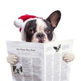 在圣诞老人帽子读书报纸的法国牛头犬 免版税库存图片