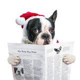 在圣诞老人帽子读书报纸的法国牛头犬 库存照片
