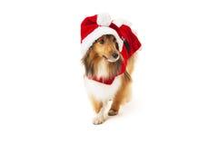 在圣诞老人服装的设德蓝群岛牧羊犬 免版税库存图片