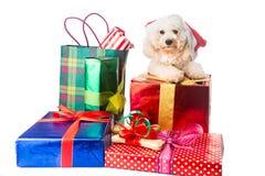 在圣诞老人服装的逗人喜爱的长卷毛狗小狗有丰富的圣诞节礼物的 免版税库存图片