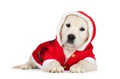 在圣诞老人服装的金毛猎犬小狗 免版税图库摄影
