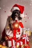 在圣诞老人盖帽的博德牧羊犬 库存照片