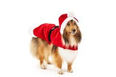 在圣诞老人礼服的设德蓝群岛牧羊犬 免版税图库摄影