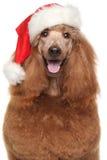 在圣诞老人红色帽子的皇家长卷毛狗 库存照片