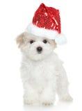 在圣诞老人红色帽子的马尔他小狗 图库摄影