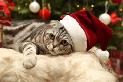 在圣诞老人衣服的猫  免版税图库摄影