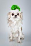 在圣诞节圣诞老人帽子的长发奇瓦瓦狗 小狗开会, l 免版税库存图片