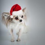 在圣诞节圣诞老人帽子的长发奇瓦瓦狗 狗坐小 图库摄影
