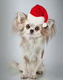 在圣诞节圣诞老人帽子的长发奇瓦瓦狗 狗坐小 免版税图库摄影