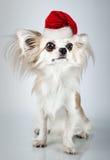 在圣诞节圣诞老人帽子的长发奇瓦瓦狗 狗坐小 免版税库存图片