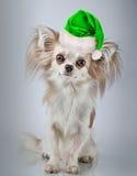 在圣诞节圣诞老人帽子的长发奇瓦瓦狗 狗坐小 库存图片