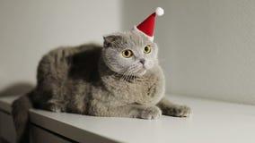 在圣诞节帽子的一只严肃的灰色猫坐桌 影视素材