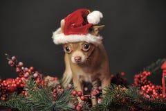 在圣诞节帽子的奇瓦瓦狗 图库摄影