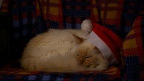 在圣诞节帽子的猫 股票录像