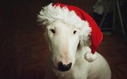 在圣诞节帽子的白色杂种犬 免版税库存照片