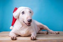 在圣诞节帽子的白色英国杂种犬在木地板st 库存图片