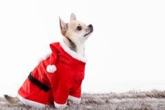 在圣诞节成套装备的奇瓦瓦狗 免版税库存照片