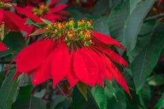 在圣诞节时间的红色一品红 库存照片