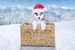 在圣诞节时间的西伯利亚爱斯基摩人小狗 免版税库存照片