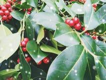 在圣诞节月桂树红色莓果的特写镜头-与雪作用的葡萄酒减速火箭的圣诞节概念 免版税库存图片