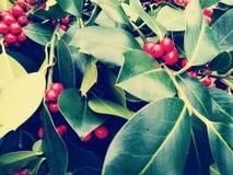 在圣诞节月桂树红色莓果的特写镜头-葡萄酒减速火箭的圣诞节概念 库存照片
