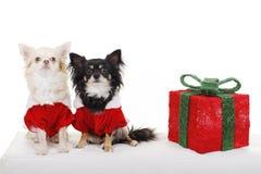 在圣诞节服装的二条俏丽的狗在礼品旁边 免版税库存照片