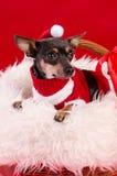 在圣诞节构成的Pincher狗 图库摄影